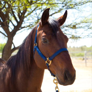 Sir Lawrence TROT Horse